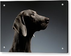 Close-up Portrait Weimaraner Dog In Profile View On White Gradient Acrylic Print