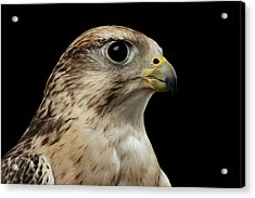 Close-up Saker Falcon, Falco Cherrug, Isolated On Black Background Acrylic Print