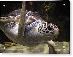 Close Up Sea Turtle Acrylic Print by Paulette Thomas