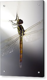 Close Up Shoot Of A Anisoptera Dragonfly Acrylic Print