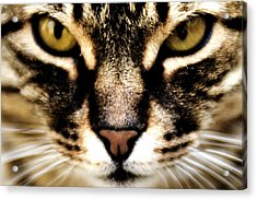 Close Up Shot Of A Cat Acrylic Print by Fabrizio Troiani