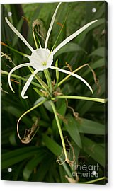 Close Up White Asian Flower With Leafy Background, Vertical View Acrylic Print