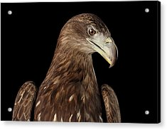 Close-up White-tailed Eagle, Birds Of Prey Isolated On Black Bac Acrylic Print
