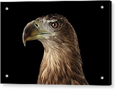 Close-up White-tailed Eagle, Birds Of Prey Isolated On Black Background Acrylic Print by Sergey Taran