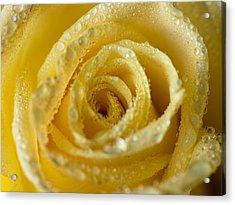 Close Up Yellow Rose Acrylic Print
