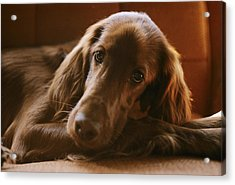 Close View Of An Irish Setter Relaxing Acrylic Print by Brian Gordon Green
