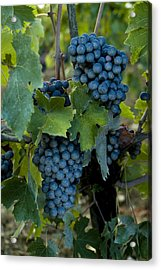 Close View Of Chianti Grapes Growing Acrylic Print by Todd Gipstein