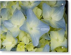 Close View Of Hydrangea Flower Acrylic Print by Todd Gipstein