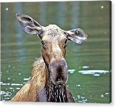 Close Wet Moose Acrylic Print