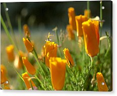 Closed California Poppies Acrylic Print by Chris Gudger