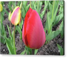 Closed Tulip Acrylic Print by Richard Mitchell