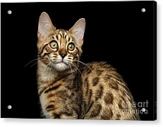 Closeup Bengal Kitty On Isolated Black Background Acrylic Print by Sergey Taran