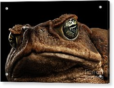 Closeup Cane Toad - Bufo Marinus, Giant Neotropical Or Marine Toad Isolated On Black Background Acrylic Print