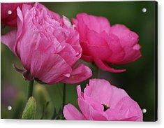 Closeup Deep Peony Pink Ranunculus Acrylic Print