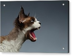 Closeup Devon Rex Hisses In Profile View On Gray  Acrylic Print