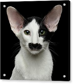 Closeup Funny Oriental Shorthair Looking At Camera Isolated, Bla Acrylic Print