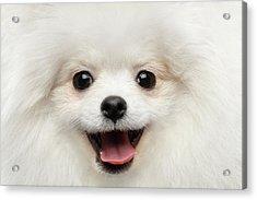 Closeup Furry Happiness White Pomeranian Spitz Dog Curious Smiling Acrylic Print