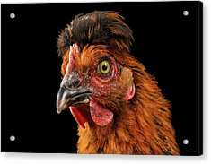 Closeup Ginger Chicken Isolated On Black Background In Profile View Acrylic Print by Sergey Taran