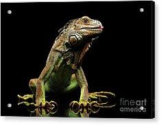 Closeup Green Iguana Isolated On Black Background Acrylic Print