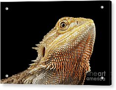 Closeup Head Of Bearded Dragon Llizard, Agama, Isolated Black Background Acrylic Print by Sergey Taran