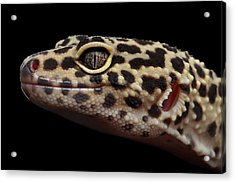 Closeup Head Of Leopard Gecko Eublepharis Macularius Isolated On Black Background Acrylic Print