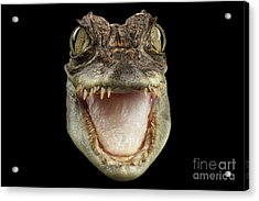 Closeup Head Of Young Cayman Crocodile , Reptile With Opened Mouth Isolated On Black Background, Fro Acrylic Print