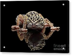 Closeup Leopard Gecko Eublepharis Macularius Isolated On Black Background, Front View Acrylic Print