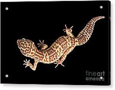 Closeup Leopard Gecko Eublepharis Macularius Isolated On Black Background Acrylic Print by Sergey Taran