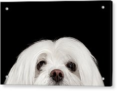 Closeup Nosey White Maltese Dog Looking In Camera Isolated On Black Background Acrylic Print