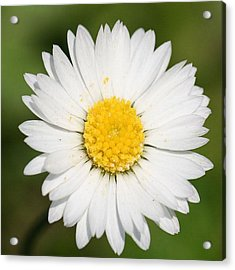 Closeup Of A Beautiful Yellow And White Daisy Flower Acrylic Print by Tracey Harrington-Simpson