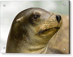 Closeup Of A California Sea Lion Acrylic Print by Tim Laman