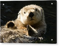 Closeup Of A Captive Sea Otter Making Acrylic Print by Tim Laman