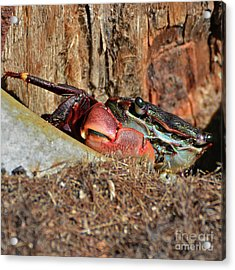 Acrylic Print featuring the photograph Closeup Of A Peeking Crab by Susan Wiedmann
