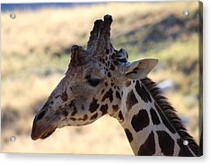 Closeup Of Giraffe Acrylic Print by Colleen Cornelius