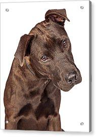 Closeup Of Labrador Crossbreed Dog Tilting Head Acrylic Print by Susan Schmitz