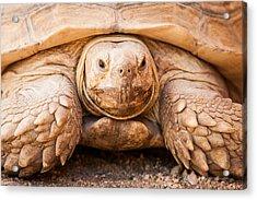 Closeup Of Large Galapagos Tortoise Acrylic Print by Susan Schmitz