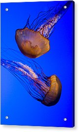 Closeup Of Two Captive Jellies Acrylic Print by Tim Laman
