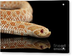 Closeup Pink Pastel Albino Western Hognose Snake, Heterodon Nasicus Isolated On Black Background Acrylic Print