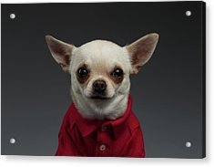 Closeup Portrait Chihuahua Dog In Stylish Clothes. Gray Background Acrylic Print