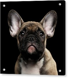 Closeup Portrait French Bulldog Puppy, Cute Looking In Camera Acrylic Print by Sergey Taran