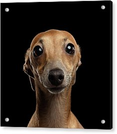 Closeup Portrait Italian Greyhound Dog Looking In Camera Isolated Black Acrylic Print