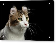 Closeup Portrait Of American Curl Cat On Black Isolated Background Acrylic Print