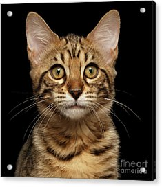 Closeup Portrait Of Bengal Kitty Isolated Black Background Acrylic Print by Sergey Taran