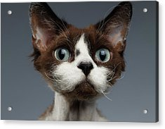 Closeup Portrait Of Devon-rex Looking In Camera On Gray  Acrylic Print by Sergey Taran