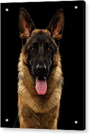 Closeup Portrait Of German Shepherd On Black  Acrylic Print
