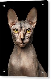 Closeup Portrait Of Grumpy Sphynx Cat, Front View, Black Isolate Acrylic Print