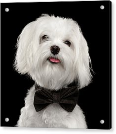 Closeup Portrait Of Happy White Maltese Dog With Bow Looking In Camera Isolated On Black Background Acrylic Print