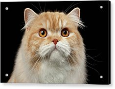 Closeup Portrait Of Red Big Persian Cat Angry Looking On Black Acrylic Print