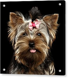 Closeup Portrait Of Yorkshire Terrier Dog On Black Background Acrylic Print