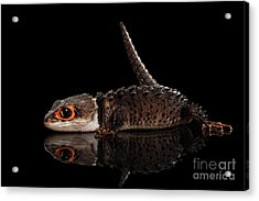 Closeup Red-eyed Crocodile Skink, Tribolonotus Gracilis, Isolated On Black Background Acrylic Print